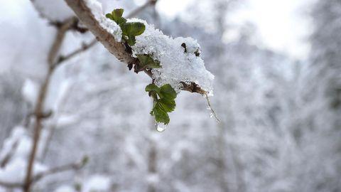 Eis hängt am jungen Trieb eines Baumes