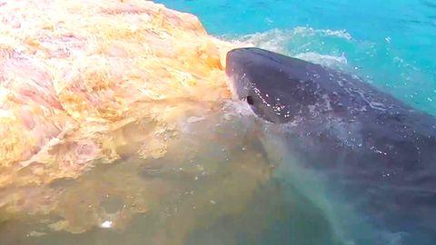 Haie machen sich über Walkadaver her – Hawaii muss Strand schließen