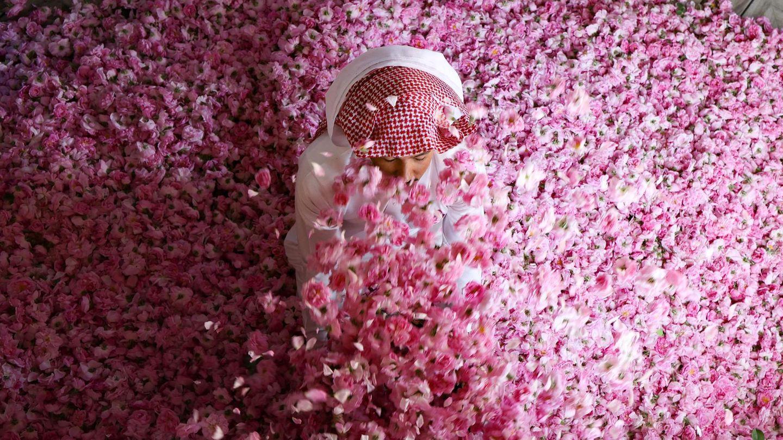 Taif, Saudi-Arabien. ... Na gut, zur Not tun's auch rosafarbene, hat sich dieser Mitarbeiter der Bin-Salman-Farm offenbar gedacht. Der Mann sitzt inmitten frisch gepflückter Damaszener-Rosen. Sie werden zur Herstellung von Rosenwasser und Rosenöl verwendet.