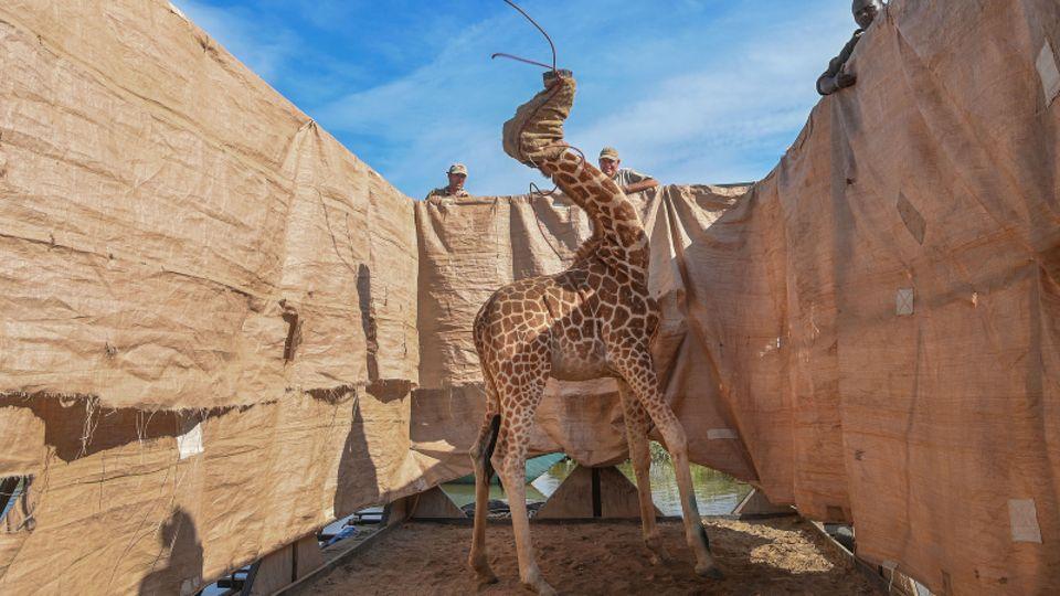 Eine seltene Rothschild-Giraffe wird vor einer Überschwemmung gerettet