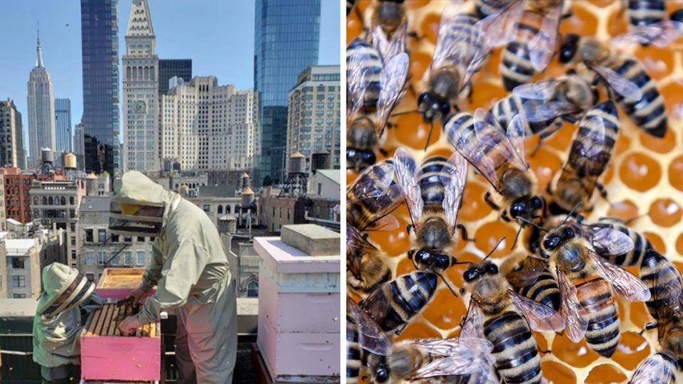Auf einem Dach vor der Skyline von New York steht ein Mann in Imker-Montur und holt einen Rahmen mit Honig aus einem Bienenstock