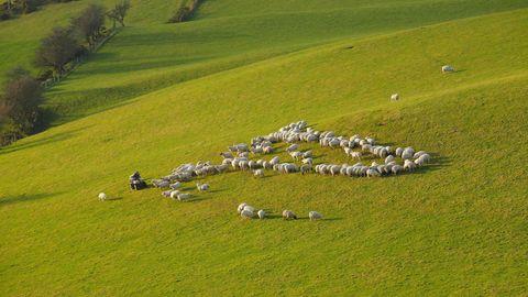 Schafe hüten in Wales: FürWilf Davies ist das sein Leben (Symbolbild)