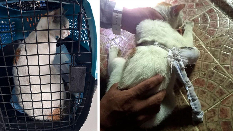 Katze, die in Panama mit an den Bauch gebundenen Drogen gefangen wurde