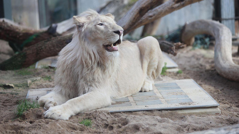 Der weiße Löwe Mojo ist seit sechs Wochen spurlos verschwunden.