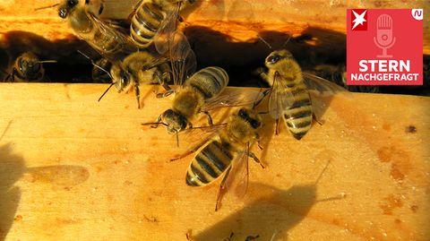 Bienen auf einem Siebkasten