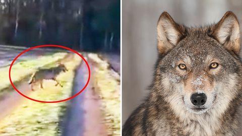Wolf in Niedersachsen