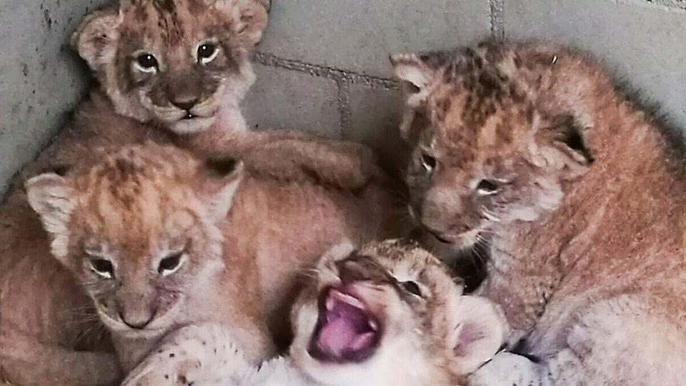Vier Löwenwelpen im Leipziger Zoo