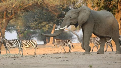 Ein Elefant spaziert neben Zebras durch den Mana Pools National Park in Simbabwe