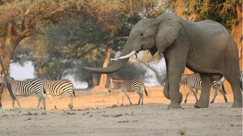 Ein Elefant spaziert neben Zebras durch den Mana Pools National Park in Simbabwe