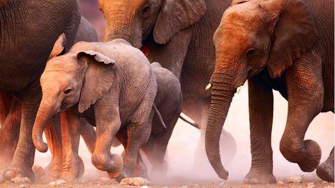 Eine Elefantenherde in Bewegung