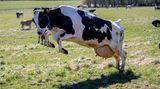 Falkenberg, Schweden. Da ist die Freude groß! Nach sechs Monaten im Stall dürfen diese Kühe endlich wieder frische Luft schnuppern. Die Freilassung von Kühen nach den langen Wintermonaten ist auf vielen schwedischen Farmen ein Fest. In diesem Jahr kann man das Ereignis oftmals virtuell verfolgen.