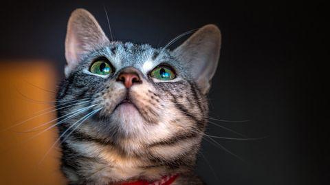 Katze Coronavirus Ansteckung Großbritannien
