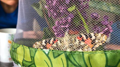 Natur erleben: Schmetterlinge züchten: Von einer faszinierenden Metamorphose in meinem Wohnzimmer