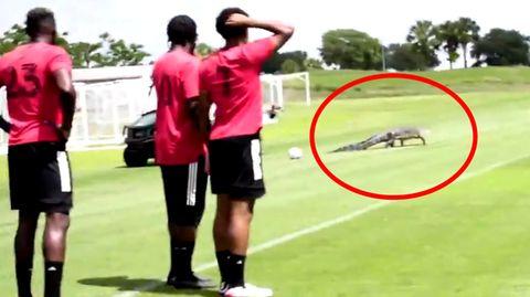 Panik auf dem Spielfeld: Riesiger Alligator unterbricht Fußball-Training in Florida