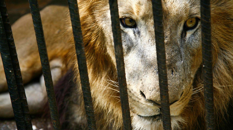 Ein gefangener Löwe schaut durch Gitterstäbe