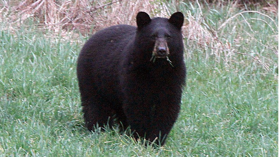 Schwarzbären gelten als scheu gegenüber Menschen. Vereinzelt kommt es jedoch zu Angriffen, von denen manche tödlich enden.
