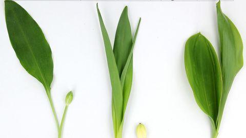 Bärlauch (hier links im Bild) wird oft verwechselt mit den Giftpflanzen Herbstzeitlose (Mitte)und Maiglöckchen.