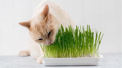 Katzengras hift bei der Verdauung
