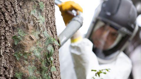 Ein Mann saugt Eichenprozessionsspinner vom Stamm einer Eiche ab