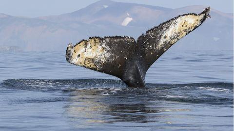 Ein Grauwal wurde vor der Küste Südfrankreichs gesichtet und sucht den Weg zurück zum Pazifik.