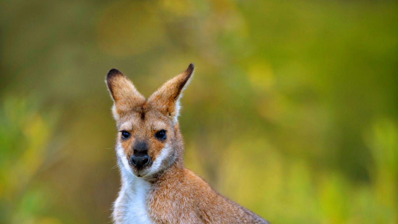 Ein Bennett-Känguru blickt in die Kamera und legt die Ohren an