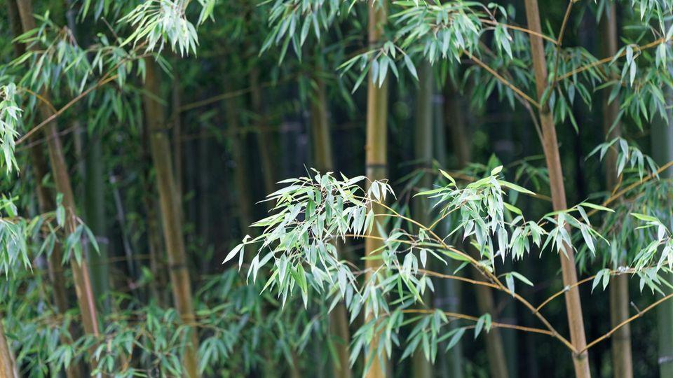 Wie schnell wächst Bambus? Wie nachhaltig ist Bambus?