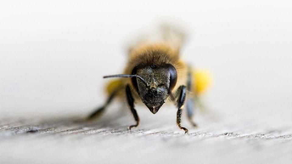 Nahaufnahme einer Honigbiene
