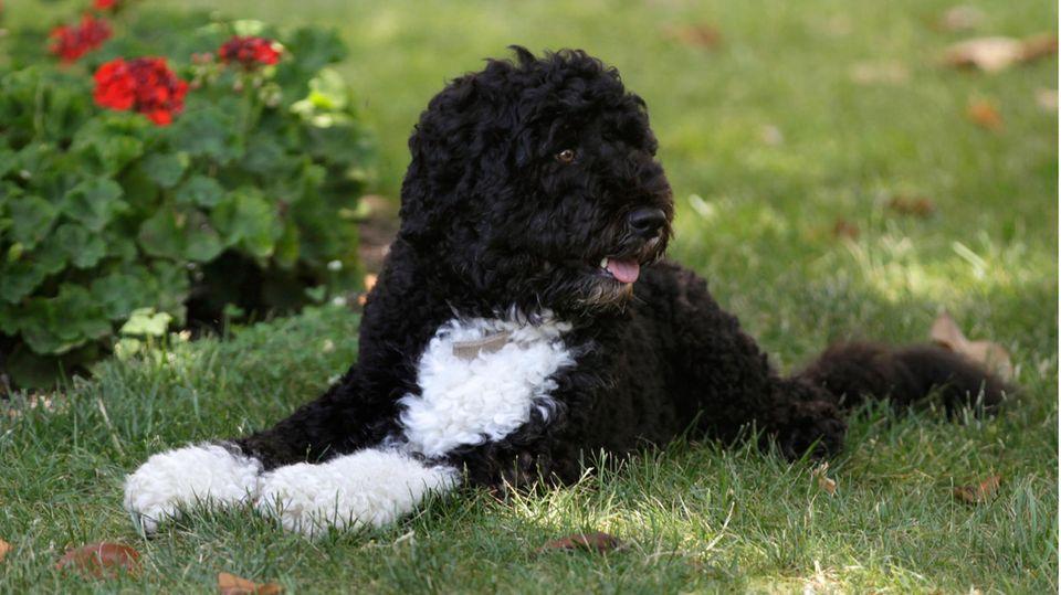 Der Portugiesische Wasserhund Bo sitzt im Gras