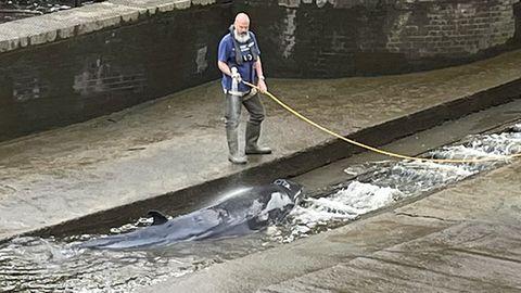 Der gefangene Wal wird in einer Themse-Schleuse von einem Mann mit Hilfe eines Wasserschlauchs nass gehalten wird.