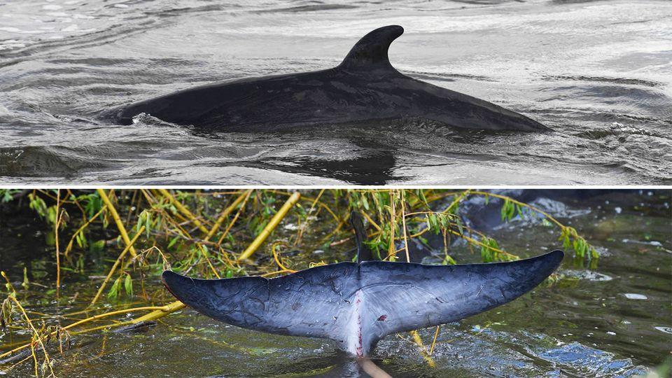 Themse: Verirrter Zwergwal schwimmt nach Rettung erneut in die falsche Richtung