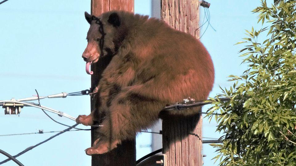 Ein Braunbär ist im US-Bundesstaat Arizona auf einen Strommasten geklettert