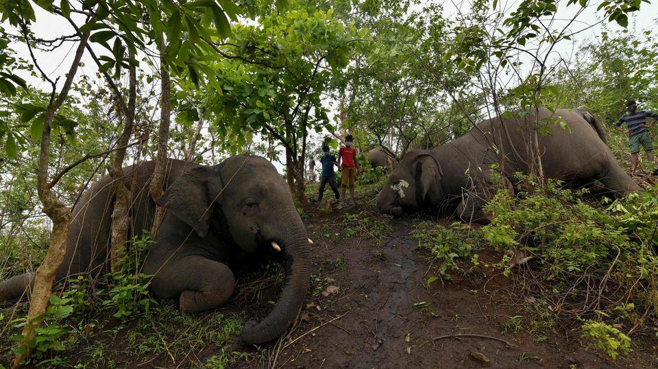 Nagaon, Indien. Es ist ein trauriger Anblick: Auf einem Berghang im Bundesstaat Assam im Nordosten des Landes liegen zahlreiche tote Elefanten. Mindestens 18 der grauen Riesen starbenbei einem Gewitter vermutlich durch Blitzeinschläge in dem Waldgebiet, wie die Forstbehörden mitteilten.Indien ist die Heimat von knapp 30.000 Elefanten. Das entspricht rund 60 Prozent aller in Asien wild lebenden Elefanten.