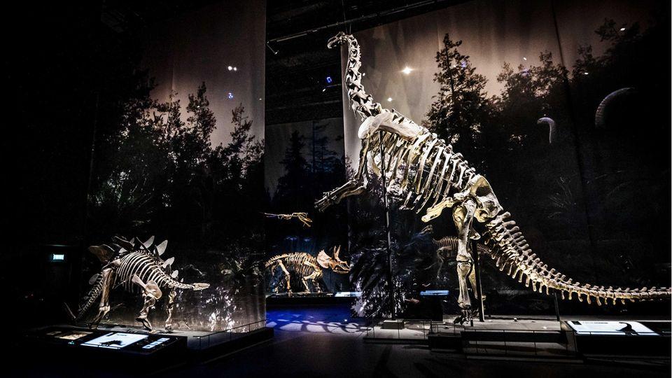 Verschiedene Dinosaurier-Skelette imInnenraum des niederländischen Naturalis-Naturmuseums, Symbolbild