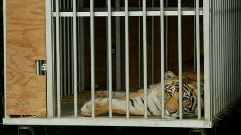 "Der junge Tiger ""India"" im Käfig"