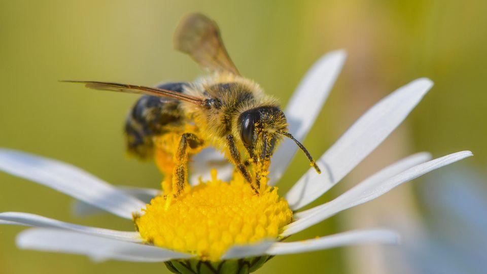 Eine Wildbiene sucht nach Nektar auf einer Blüte einer Magerwiesen-Margerite