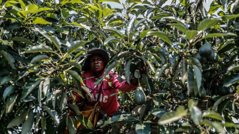 Arbeiter auf einer Avocados-Plantage in Südafrika.