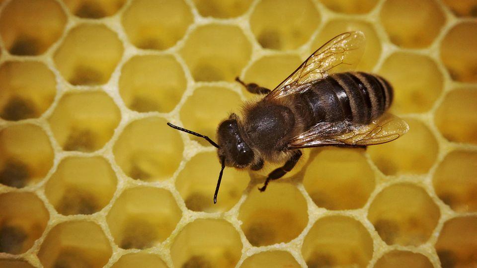 Eine Biene geht in einem Bienenstock über die mit Honig gefüllten Waben