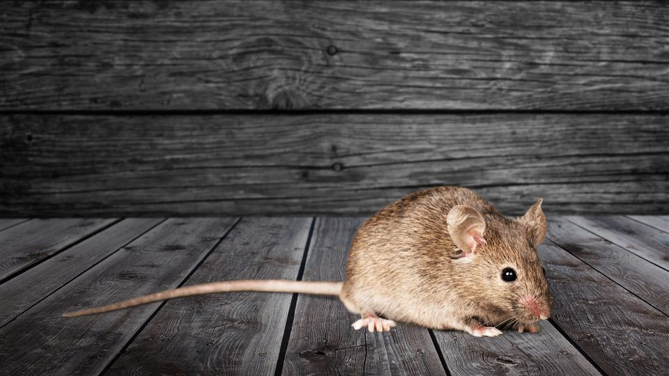 Eine einzelne Maus ist süß, aber in der Masse werden die Nager zum Problem