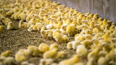 Viele kleine gelbe Küken laufen in einem Mastbetrieb auf dem Boden herum