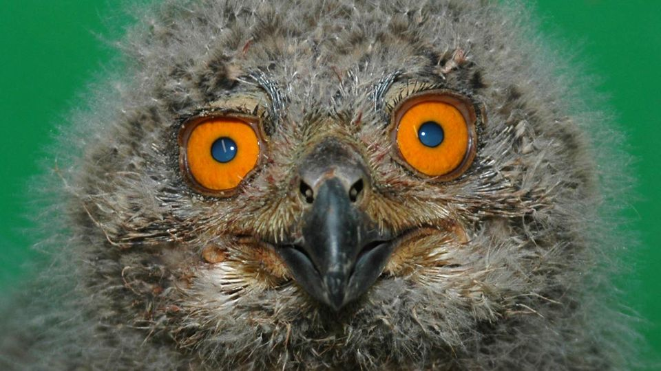 Ein Uhu-Küken blickt mit seinen orangefarbenen Augen in die Kamera
