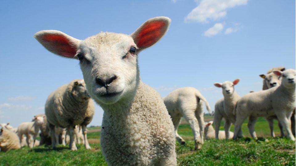 Wird das Freihandelskommen britische Bauern im Vereinigten Königreich gefährden?