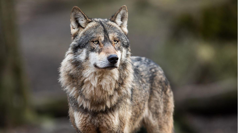 Ein Wolf wurde in der Nacht zum Mittwoch in der Kölner Innenstadt gesichtet.