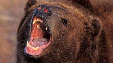 Ein Braunbär in Alaska (Archivbild)