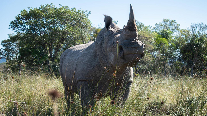 """Nashorn-Bulle """"Igor"""" im Buffalo Kloof Game Reserve, Südafrika"""