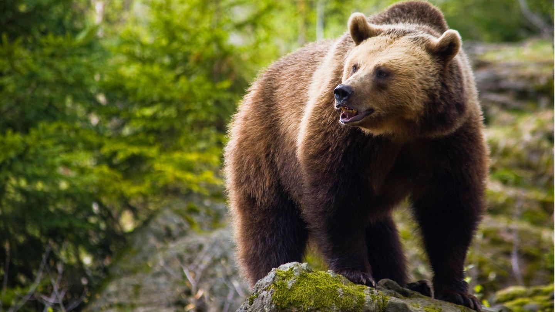 """""""Braunbären sind gefährliche Raubtiere"""", so der Zoodirektor desZoos in Whipsnade, England(Symbolbild)"""
