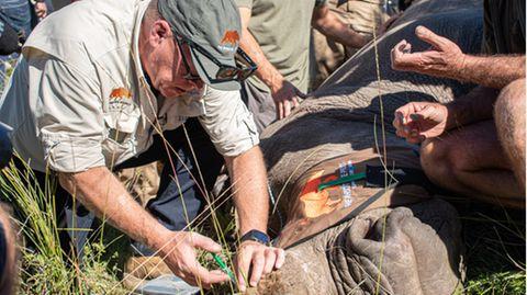 Eine präparierte Aminosäure im Horn des Tieres soll Nashorn-Wilderer abhalten.