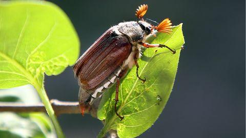 Ein Maikäfer sitzt auf einem Fliederbusch.