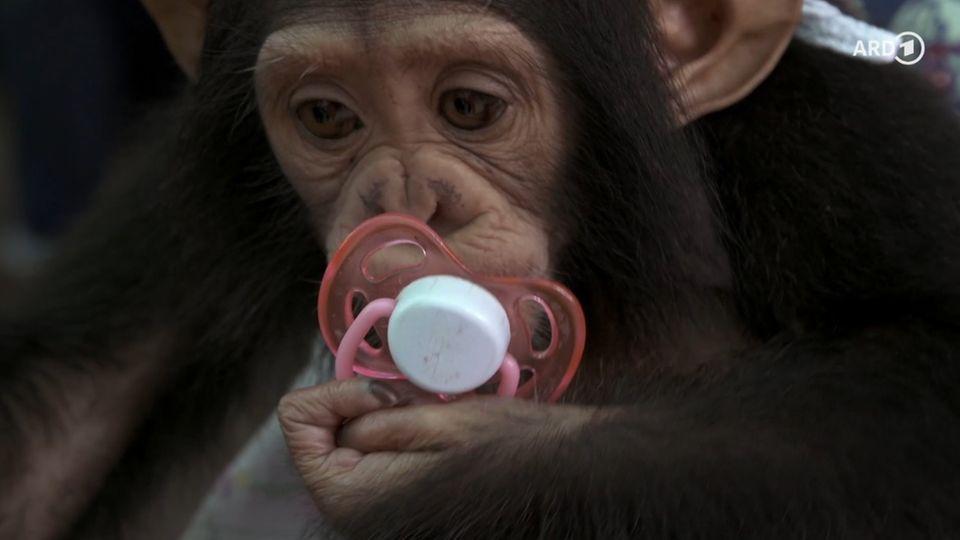 Michel Abdollahi macht sich auf die Suche nach weltweiten Netzwerken des kriminellen Affenhandels.