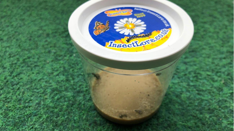 Schmetterlinge züchten: Distelfalterraupen im Becher