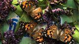 Schmetterlinge züchten: Drei Distelfalter sonnen sich im Schmetterlingsgarten